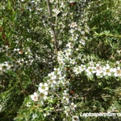 Leptospermum obovatum (River Tea Tree) at Sth Tablelands Ecosystem Park - 19 Nov 2014 by JanetRussell