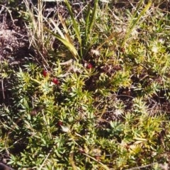 Astroloma humifusum (Cranberry Heath) at Conder, ACT - 14 Feb 2000 by michaelb