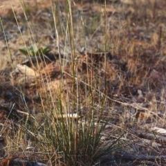 Austrostipa bigeniculata (Kneed Speargrass) at Pine Island to Point Hut - 7 Jan 2007 by michaelb