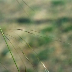 Austrostipa bigeniculata (Kneed Speargrass) at Point Hut to Tharwa - 5 May 2007 by michaelb