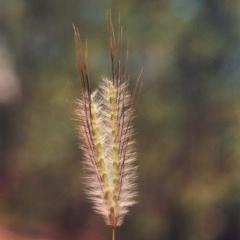 Dichanthium sericeum (Queensland Blue-grass) at Gigerline Nature Reserve - 17 Feb 2015 by michaelb