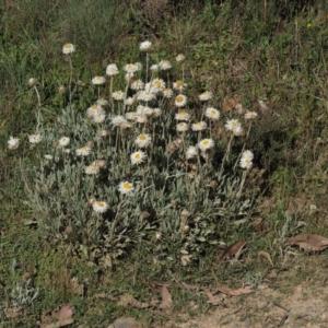 Leucochrysum alpinum at Namadgi National Park - 20 Dec 2014
