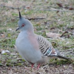 Ocyphaps lophotes (Crested Pigeon) at Commonwealth & Kings Parks - 8 Jul 2015 by michaelb