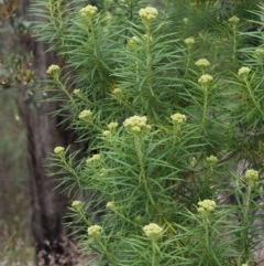 Cassinia longifolia (Shiny Cassinia, Cauliflower Bush) at Black Mountain - 5 Nov 2014 by KenT