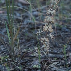 Lomandra multiflora (Many-flowered Matrush) at Black Mountain - 17 Oct 2014 by KenT