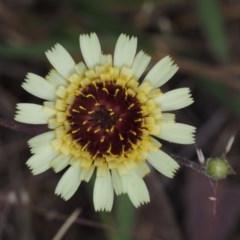 Tolpis barbata (Yellow Hawkweed) at Black Mountain - 5 Nov 2014 by KenT