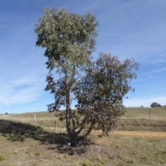 Eucalyptus nortonii (Large-flowered Bundy) at Sth Tablelands Ecosystem Park - 30 Jul 2015 by JanetRussell