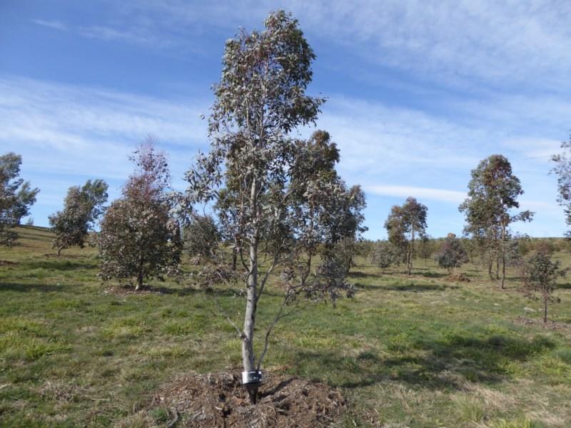 Eucalyptus melliodora at Sth Tablelands Ecosystem Park - 30 Jul 2015