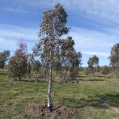 Eucalyptus melliodora (Yellow Box) at Sth Tablelands Ecosystem Park - 30 Jul 2015 by JanetRussell