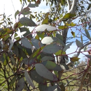 Eucalyptus melliodora at Sth Tablelands Ecosystem Park - 30 Jul 2015