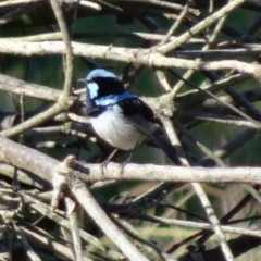 Malurus cyaneus (Superb Fairywren) at Jerrabomberra Wetlands - 31 Jul 2015 by galah681