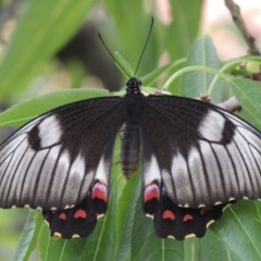 Papilio aegeus (Orchard Swallowtail) at Conder, ACT - 27 Jan 2015 by michaelb