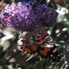 Vanessa kershawi (Australian Painted Lady) at Conder, ACT - 6 Feb 2015 by michaelb