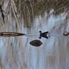 Porphyrio melanotus (Australasian Swamphen) at Jerrabomberra Wetlands - 9 Aug 2015 by galah681