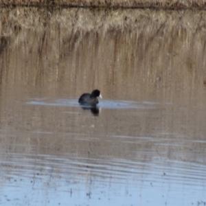Fulica atra at Jerrabomberra Wetlands - 9 Aug 2015