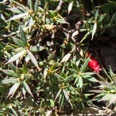 Astroloma humifusum (Cranberry heath) at Mount Mugga Mugga - 10 Aug 2015 by galah681