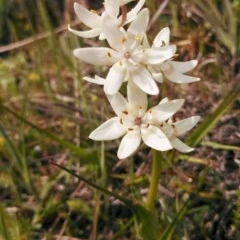 Wurmbea dioica subsp. dioica (Early Nancy) at Majura, ACT - 25 Sep 2014 by EmmaCook