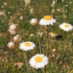 Leucochrysum albicans subsp. tricolor (Hoary Sunray) at Majura, ACT - 2 Oct 2014 by EmmaCook