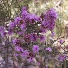 Kunzea parvifolia (Violet kunzea) at Dunlop, ACT - 2 Nov 2014 by EmmaCook