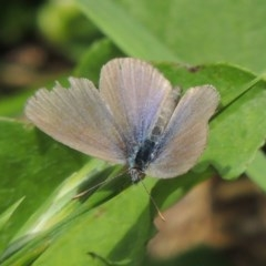 Zizina otis (Common Grass-blue) at Conder, ACT - 1 Feb 2015 by michaelb