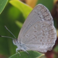 Zizina otis (Common Grass-blue) at Conder, ACT - 22 Mar 2015 by michaelb