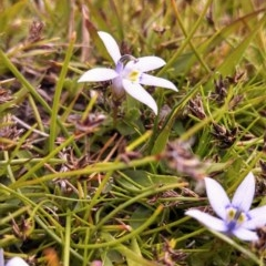 Isotoma fluviatilis subsp. australis (Swamp Isotome) at Wanniassa Hill - 5 Nov 2014 by EmmaCook