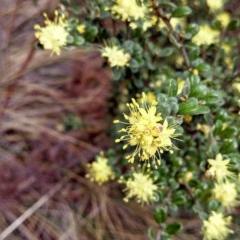 Phebalium squamulosum subsp. ozothamnoides (Alpine phebalium, Scaly phebalium) at Namadgi National Park - 8 Oct 2014 by EmmaCook