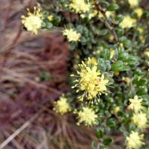 Phebalium squamulosum subsp. ozothamnoides at Namadgi National Park - 9 Oct 2014