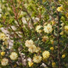 Acacia gunnii (Ploughshare Wattle) at Lower Cotter Catchment - 14 Aug 2015 by KenT