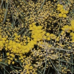 Acacia boormanii (Snowy River Wattle) at Tuggeranong Hill - 15 Aug 2015 by michaelb