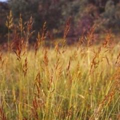 Sorghum leiocladum (Wild Sorghum) at Conder, ACT - 6 Dec 1999 by michaelb
