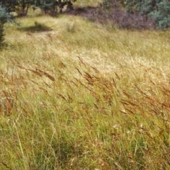 Sorghum leiocladum (Wild Sorghum) at Conder, ACT - 16 Dec 1999 by michaelb