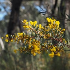 Acacia buxifolia subsp. buxifolia (Box-leaf Wattle) at Acton, ACT - 18 Aug 2015 by KenT