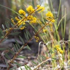 Acacia buxifolia subsp. buxifolia (Box-leaf Wattle) at - 20 Aug 2015 by KenT