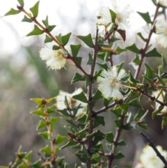Acacia gunnii (Ploughshare Wattle) at Acton, ACT - 18 Aug 2015 by KenT
