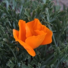 Eschscholzia californica (California Poppy) at Point Hut to Tharwa - 16 Aug 2015 by michaelb