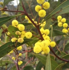 Acacia pycnantha (Golden Wattle) at Mount Ainslie - 23 Aug 2015 by AaronClausen