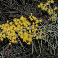 Acacia boormanii (Snowy River Wattle) at Stranger Pond - 22 Aug 2015 by michaelb