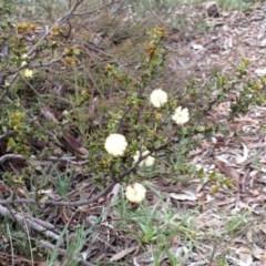 Acacia gunnii (Ploughshare Wattle) at Percival Hill - 23 Aug 2015 by gavinlongmuir