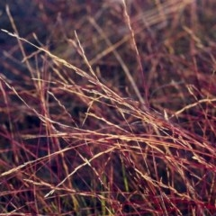 Tripogonella loliiformis (Five Minute Grass) at Conder, ACT - 14 Mar 2001 by michaelb