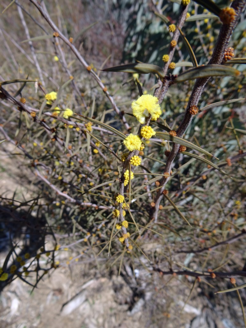 Acacia siculiformis at Sth Tablelands Ecosystem Park - 20 Aug 2015