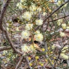 Acacia genistifolia (Early Wattle) at Yarrow, NSW - 28 Aug 2015 by EmmaCook