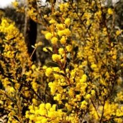 Acacia buxifolia subsp. buxifolia (Box-leaf Wattle) at Yarrow, NSW - 27 Aug 2015 by EmmaCook