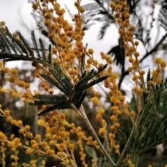 Acacia dealbata (Silver Wattle) at Googong Foreshore - 27 Aug 2015 by EmmaCook