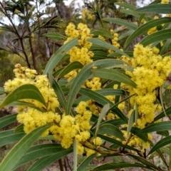 Acacia rubida (Red-leaved Wattle) at Googong Foreshore - 27 Aug 2015 by EmmaCook