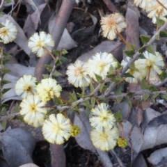 Acacia gunnii (Ploughshare Wattle) at Farrer Ridge - 16 Aug 2015 by Mike