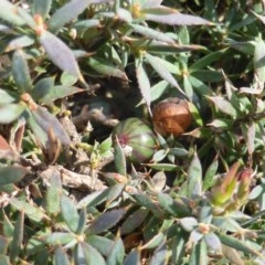 Astroloma humifusum (Cranberry heath) at Mount Mugga Mugga - 20 Aug 2015 by Mike
