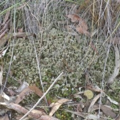Cladonia sp. (Cup Lichen) at Acton, ACT - 3 Jul 2015 by MattM