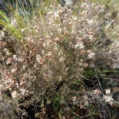 Cryptandra speciosa subsp. speciosa at The Pinnacle - 4 Sep 2015 by Rosie