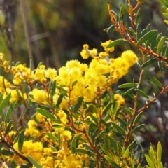 Acacia buxifolia subsp. buxifolia (Box-leaf Wattle) at Paddys River, ACT - 5 Sep 2015 by KenT
